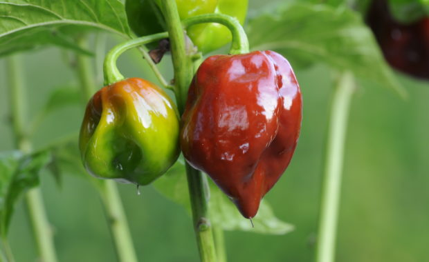 Habanero Black Stinger