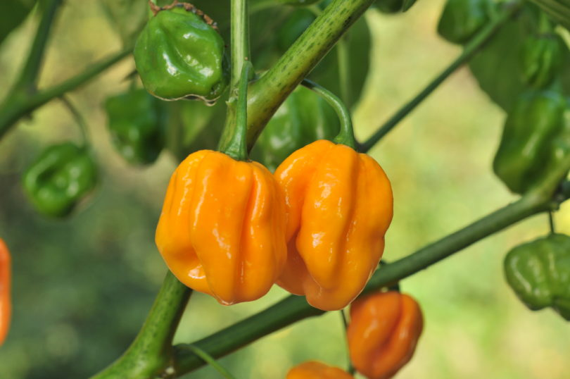 Morovars Yellow - Capsicum chinense