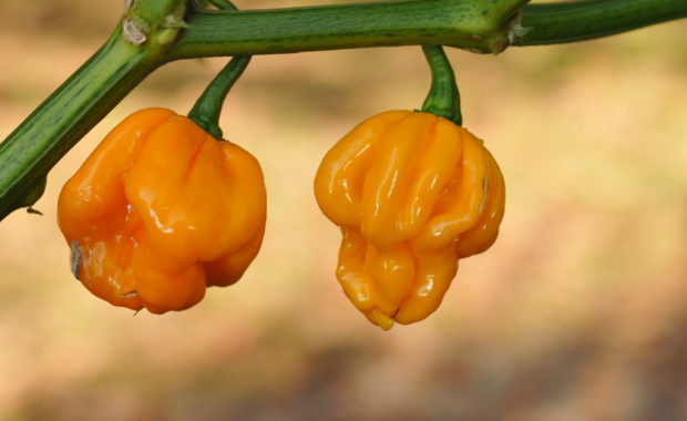 Papa Joes Scotch Bonnet - Capsicum chinense